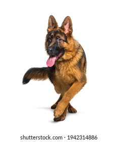 German shepherd panting and walking towards the camera, isolated on white