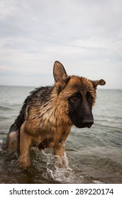 german shepherd playing by the sea