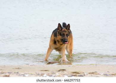 German Shepherd playing in water at the shore