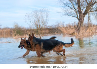 German Shepherd playing in the wild nature in the water