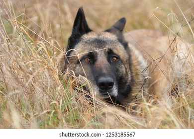 German Shepherd portrait close-up lying in a high dry grass in a field with begging eyes