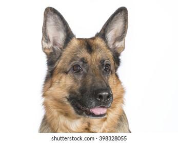 German shepherd portrait. Image taken in a studio.