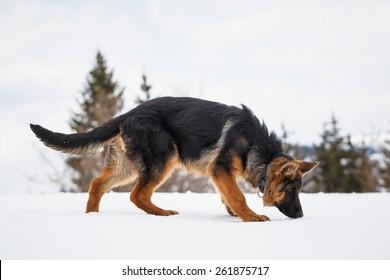 German Shepherd, portrait of a puppy in the snow