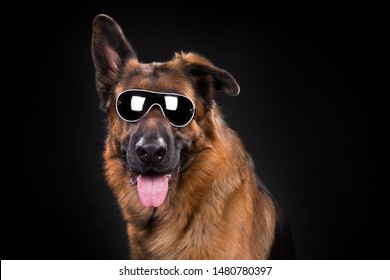 German Shepherd Portrait with sunglass