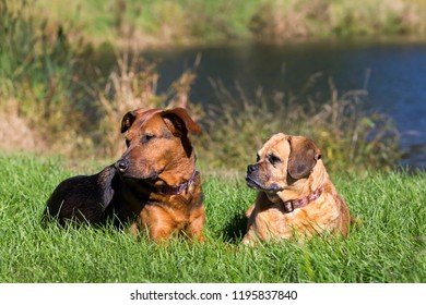 German Shepherd and Puggle mixed breed dogs stalking and relaxing in the grass on a sunny fall day.
