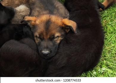 German shepherd pup resting his head on his fellow pups