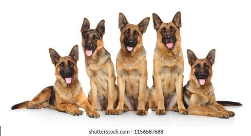 German Shepherd puppies posing on white background.