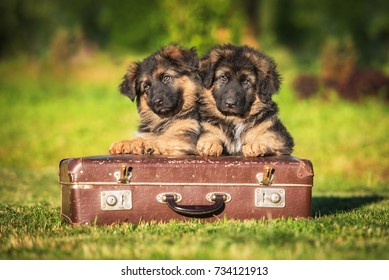 German shepherd puppies with a suitcase
