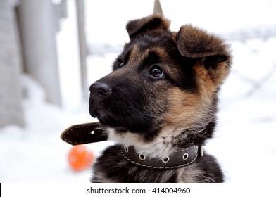 German Shepherd, puppy