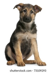 4 Months Old German Shepherd Puppy Images, Stock Photos