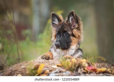 German shepherd puppy in autumn