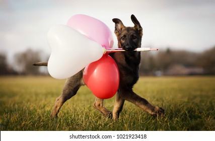 German shepherd puppy with ballons