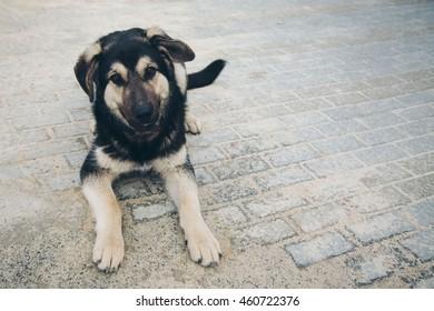 German Shepherd puppy barking