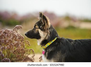 German Shepherd puppy dog mix breed in purple flowers