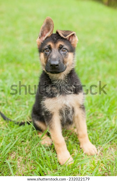 German Shepherd puppy with floppy ears sits in the grass