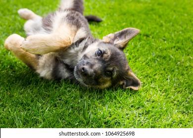 German shepherd puppy german  in the garden.