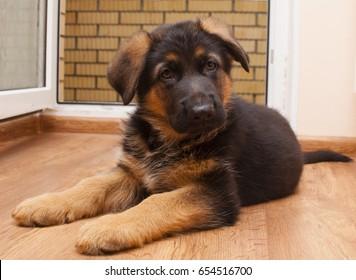 German shepherd puppy in home
