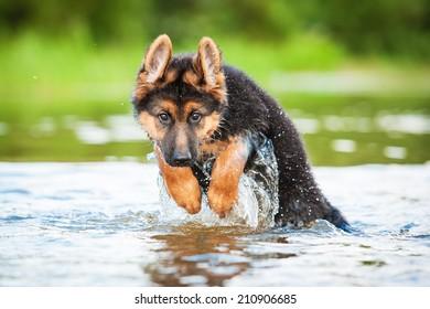 German shepherd puppy jumping in water