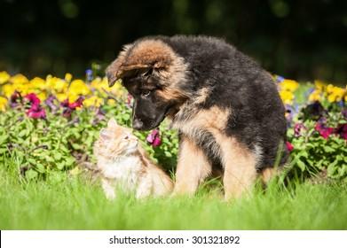 German shepherd puppy kissing little kitten