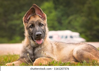 German Shepherd puppy laying down