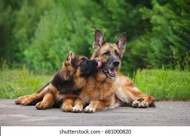 German Shepherd puppy licks an adult dog