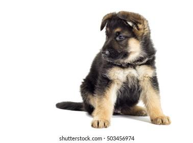 German Shepherd Puppy looking