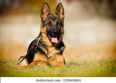 German shepherd puppy looks outdoors