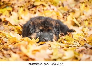 German shepherd puppy lying in the falling leaves in autumn
