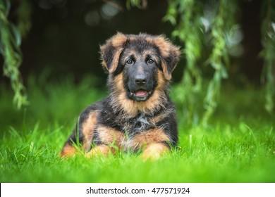 German shepherd puppy lying on the lawn