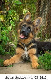 German shepherd puppy lying in the yard