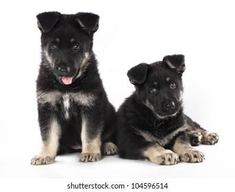 German Shepherd puppy on a white background
