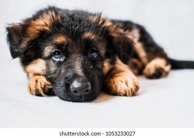 German Shepherd puppy on white background, selective focus
