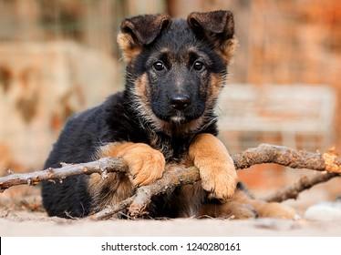 German Shepherd puppy outdoors