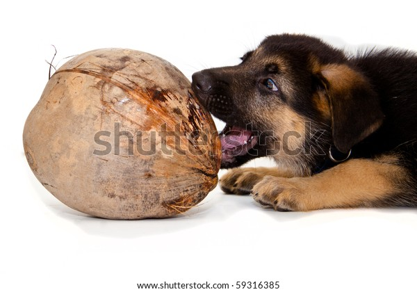 German Shepherd puppy playing with coconut isolated on white