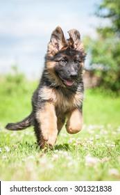 German shepherd puppy playing outdoors