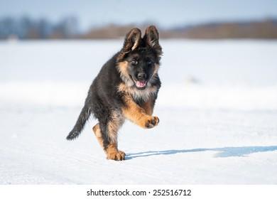 German shepherd puppy playing in winter