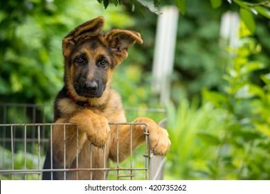 German Shepherd Puppy Images Stock Photos Vectors Shutterstock