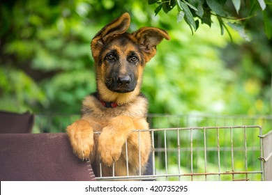 German shepherd puppy posing behind bars.