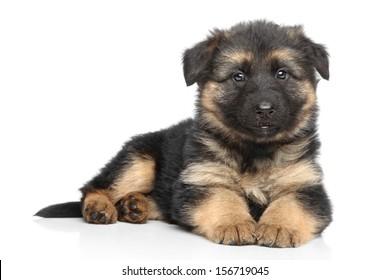 German shepherd puppy posing on a white background