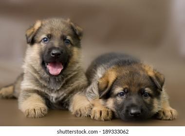 German shepherd puppy posing on a brown background