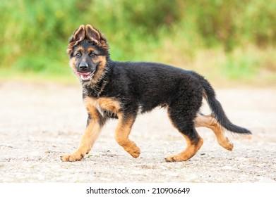 German shepherd puppy running on the beach