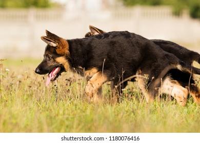 German Shepherd Puppy Runs On The Grass