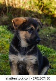 German Shepherd puppy sitting in the shade
