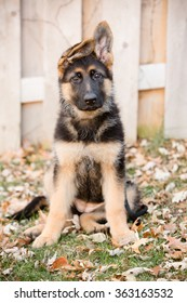 German Shepherd Puppy Sitting - This is an image of an adorable german shepherd puppy with floppy ears sitting in they yard.