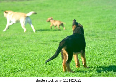 A German Shepherd puppy is standing with his back to the camera. Only one ear is standing erect. He is watching two other dogs run over some grass.
