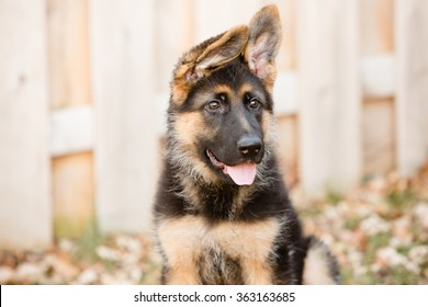 German Shepherd Puppy - This is an image of an adorable german shepherd puppy with floppy ears.