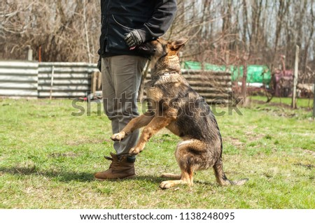 German Shepherd Puppy Trained By Dog Stock Photo Edit Now
