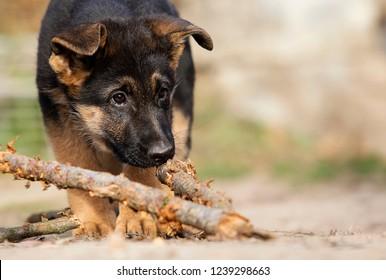German Shepherd puppy for a walk