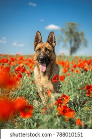 German shepherd is relaxing after running in poppy field.