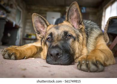 German Shepherd resting on the floor closeup